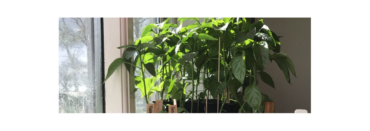 Strong and lush chili plants