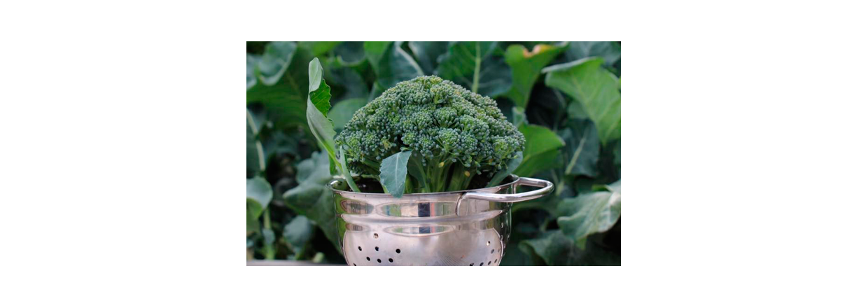 Overvintrede broccoli