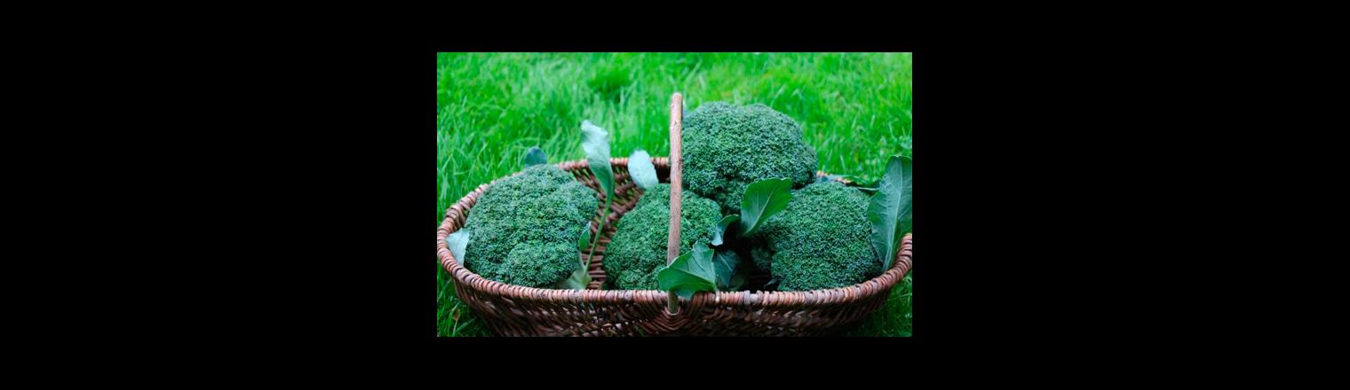 Broccoli as a second crop