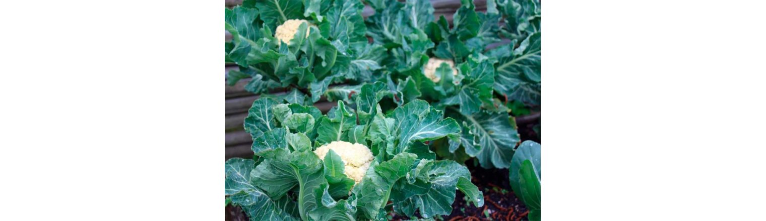 Defiant cauliflower for early spring harvest