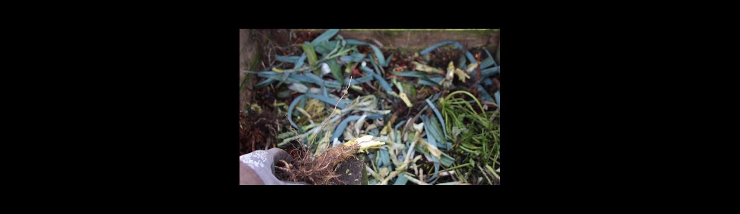 Cabbage sticks turn into compost
