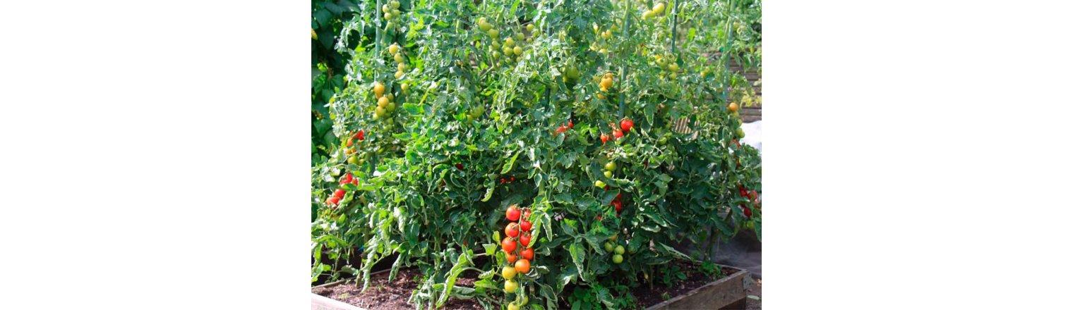 Free-range tomatoes without mold