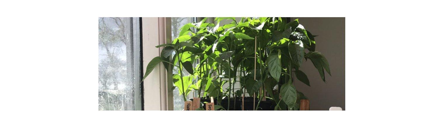 Stærke og frodige chili-planter