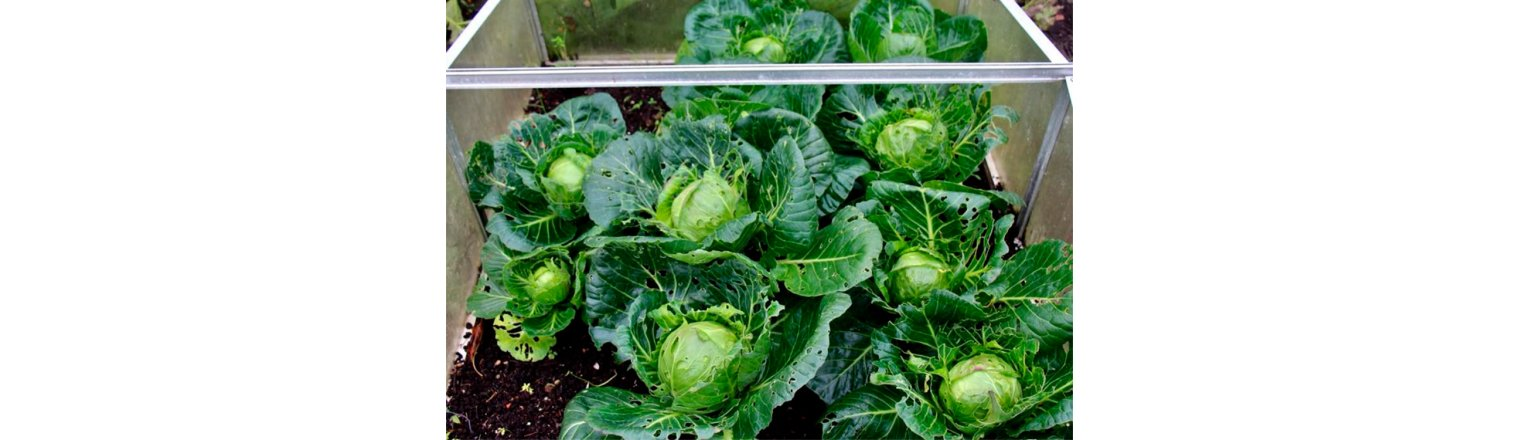 Mini-white cabbage as 2nd crop