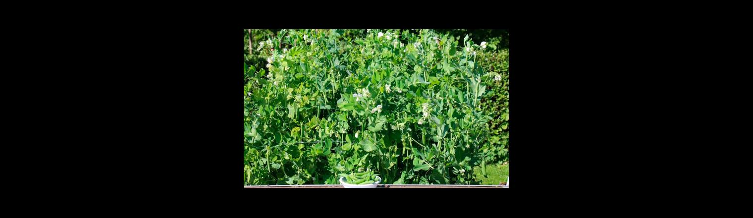 The earliest peas