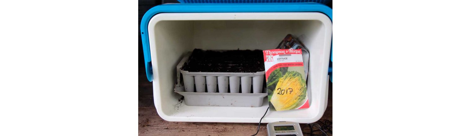 Last batch of lettuce for harvest this year was seen NOW!