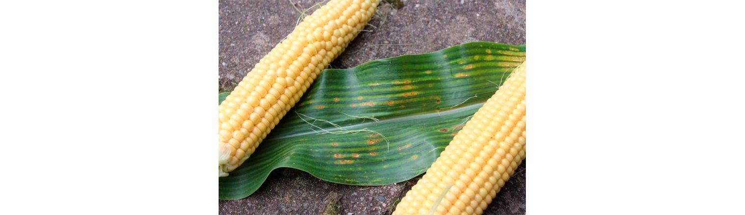 Corn - eye spot