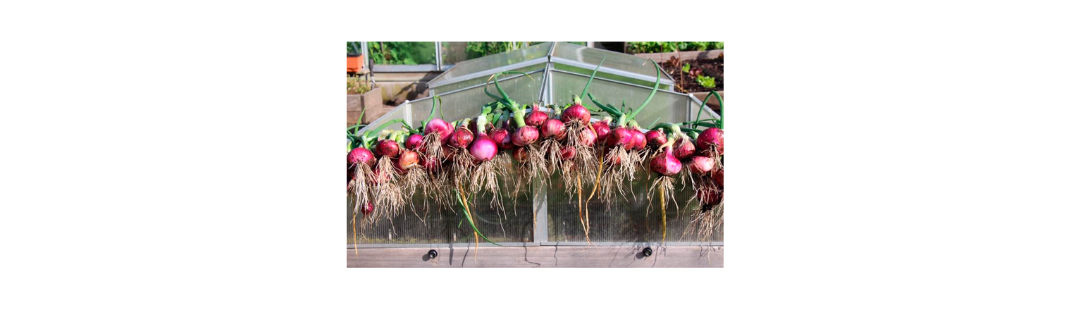 Early red onions