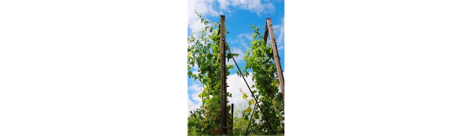 Grams 3 feet tall peas