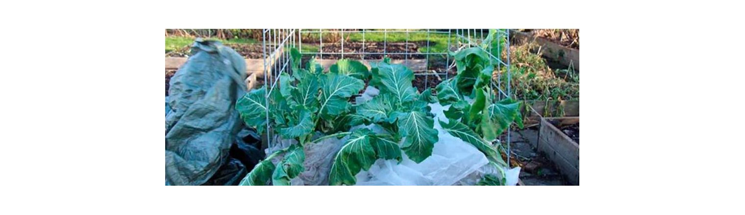 Cabbage and hard frost