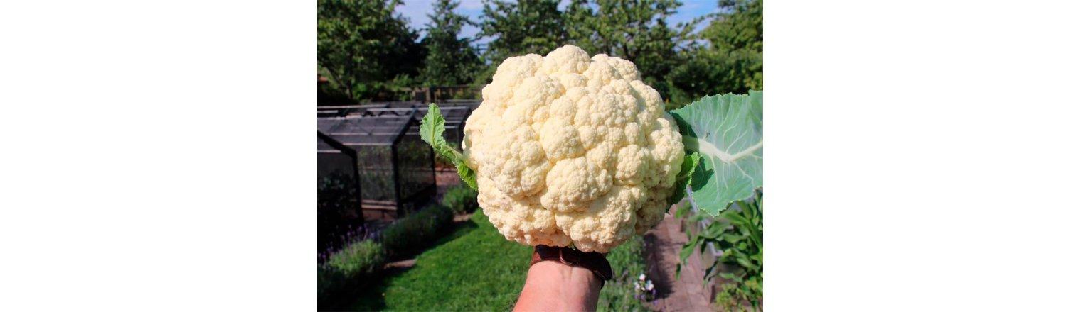 Broccoli plants - early senility