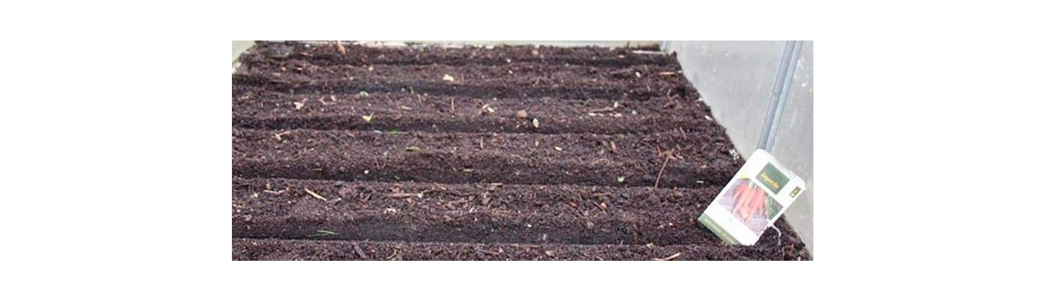 Winter sowing of carrots