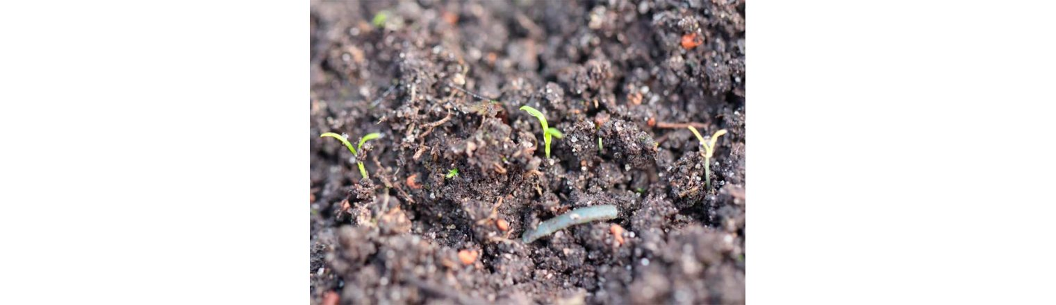 Too early sprouted carrots