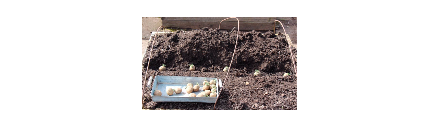 Laying of early potatoes