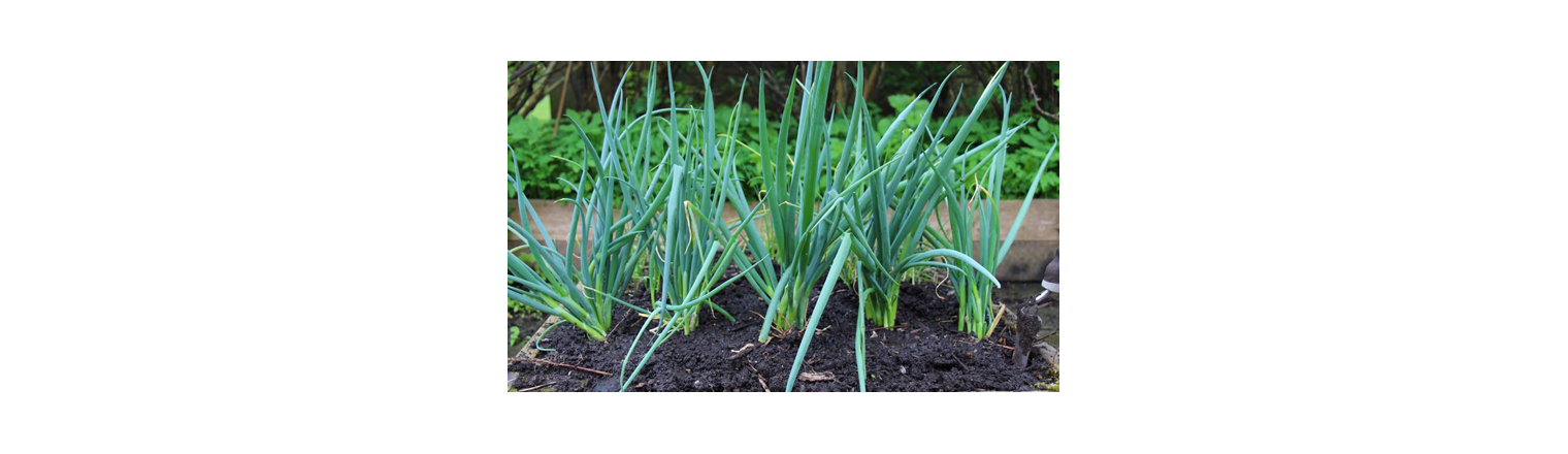 Overwintered spring onions