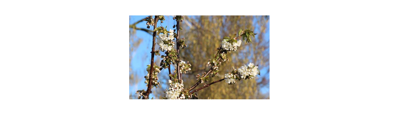 The cherry trees are protected with water