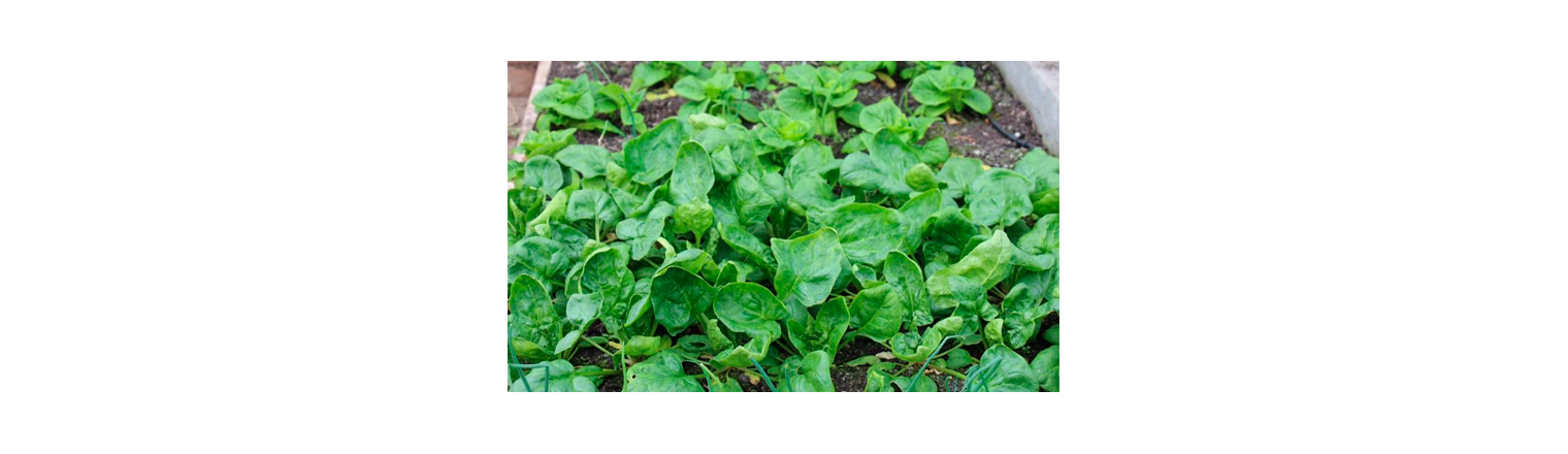 Spring's first green eat
