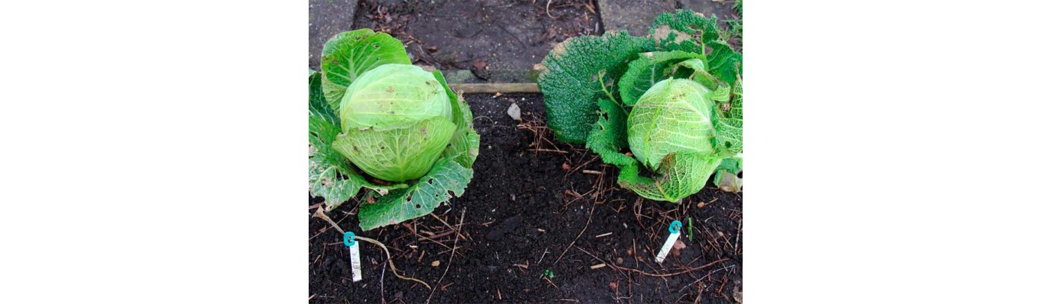 Savoy-cabbage competition