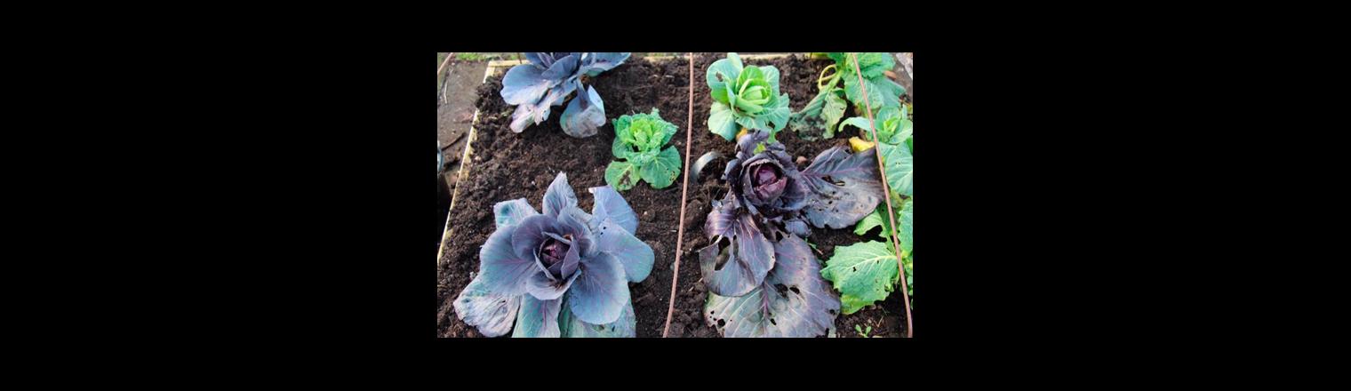 Transplanting cabbage
