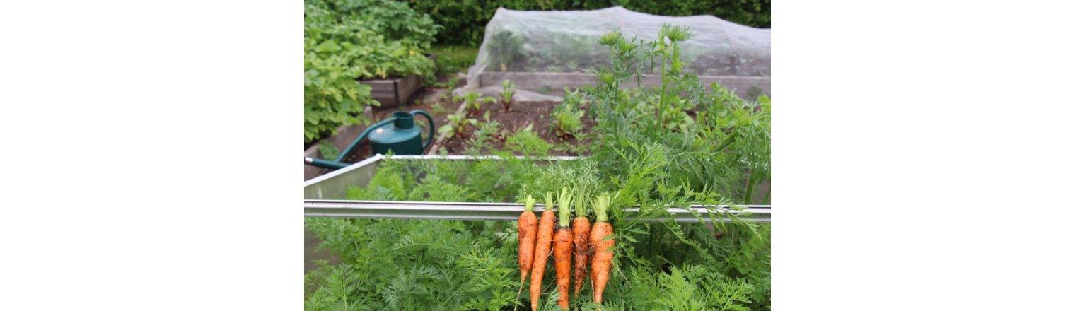 Overwintering carrots with time confusion