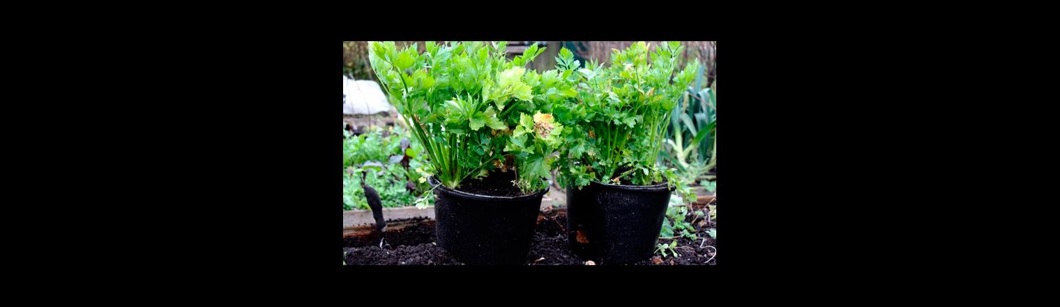 Celery leaves for winter use