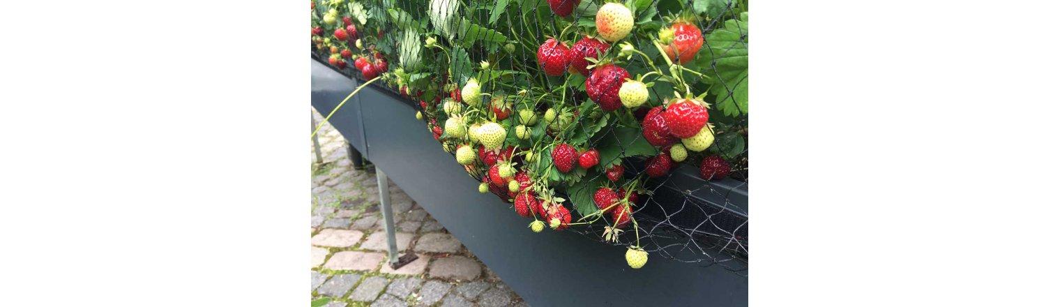 Masser af jordbær - og lus.......