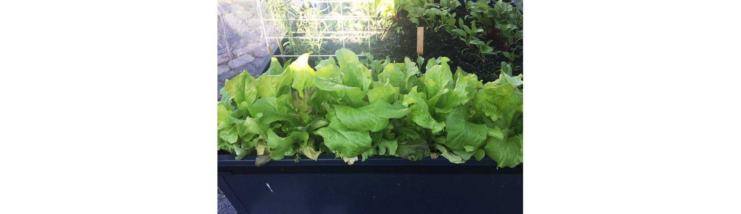Første salathøst og erfaringer