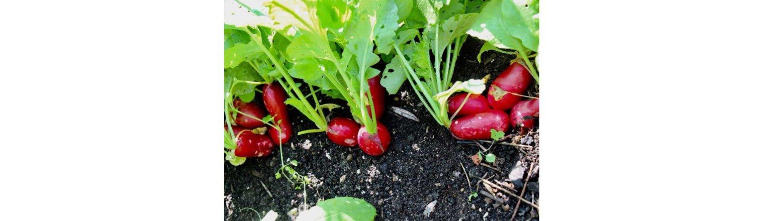 Multi-sown radishes