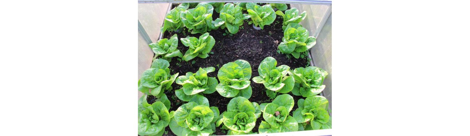 Lettuce, tomatoes and frost
