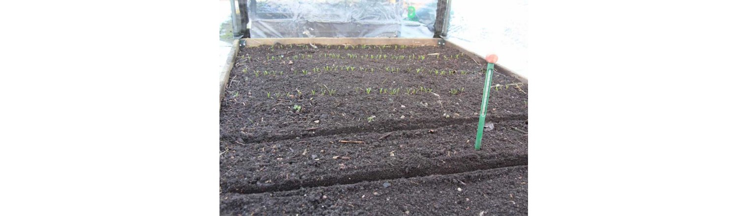 Spinach sprouts